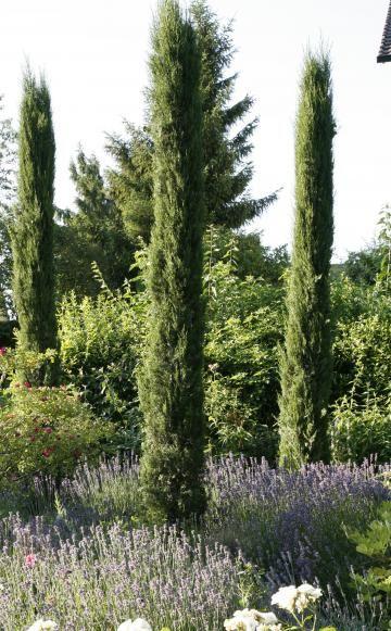 Die immergrünen Zypressen prägen die Toskana und kommen im milden Weinbauklima auch in unseren Breiten zurecht (links). Säulen-Eibe und Säulen-Wacholder lassen in Kombination mit Heide keinen Gedanken ans Mittelmeer aufkommen. Das ändert sich jedoch schnell, wenn man sie mit Lavendel kombiniert