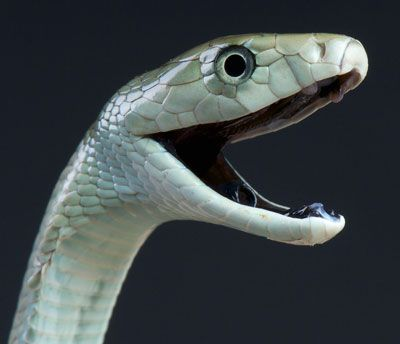 Detailed Article about Black Mamba Snake