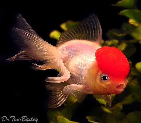 20 best images about fish and chips on pinterest sea for Can tropical fish live with goldfish