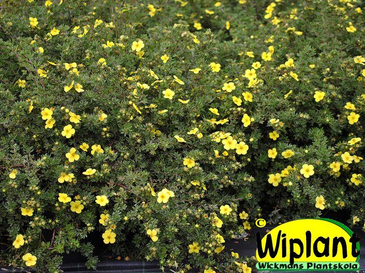 Potentilla f. Longacre, ölandstok. Marktäckare för slänter, kanter o dyl. Stora blommor. 0,3 m.
