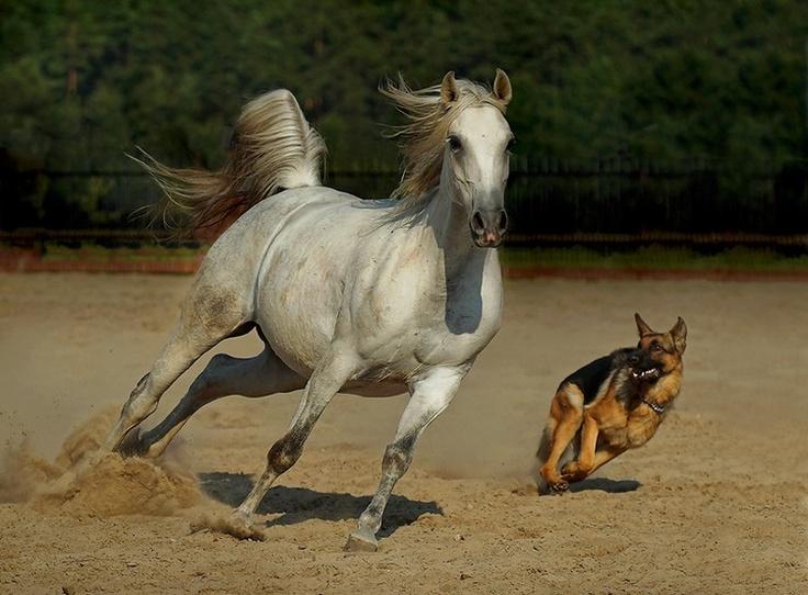 Photo by by Wojtek Kwiatkowski: Animals, Dogs, Horses, German Shepherds, Andalusian Horse, German Shepard, Friend