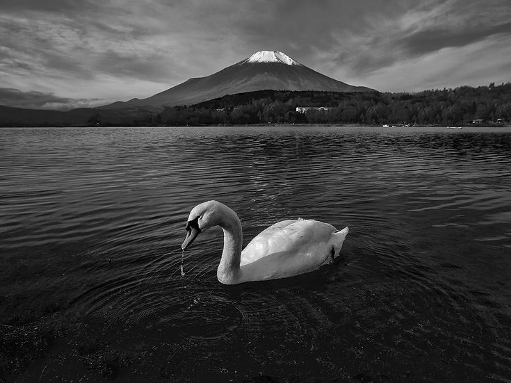 Picture of a swan swimming on Lake Yamanaka near Mount Fuji, Japan (National Geographic)