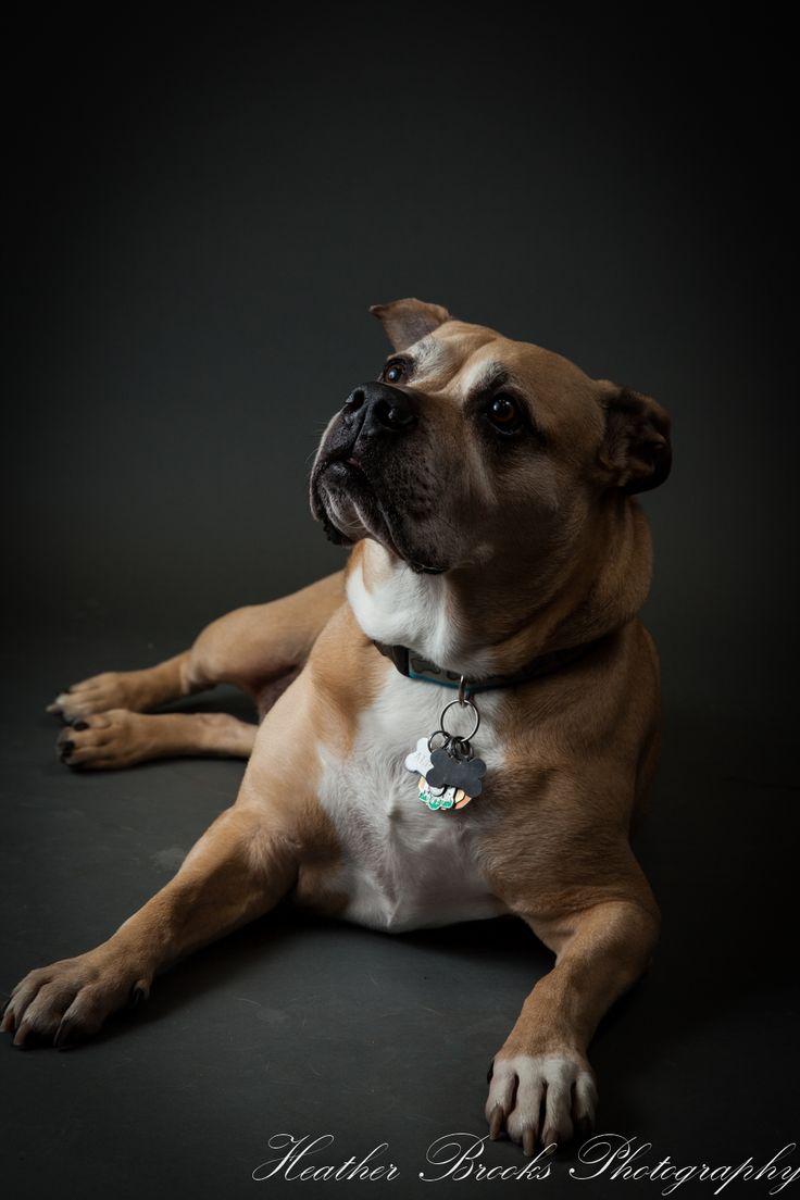 #essexontario #petvalu #petphotography #dog #dogphotography #essexphotographer #windsorfamilyphotographer #dogportrait#bullmastife