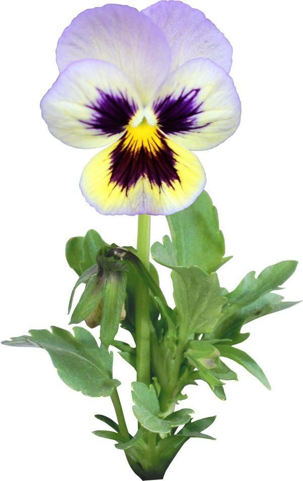 виола цветок рисунок занавеса выбирается под