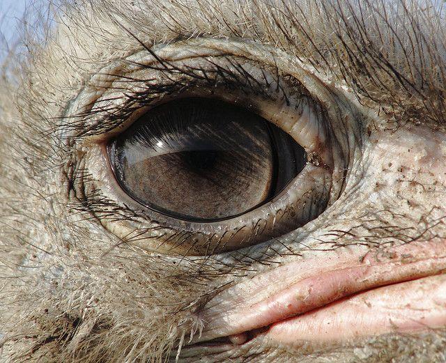 ostrich eye.