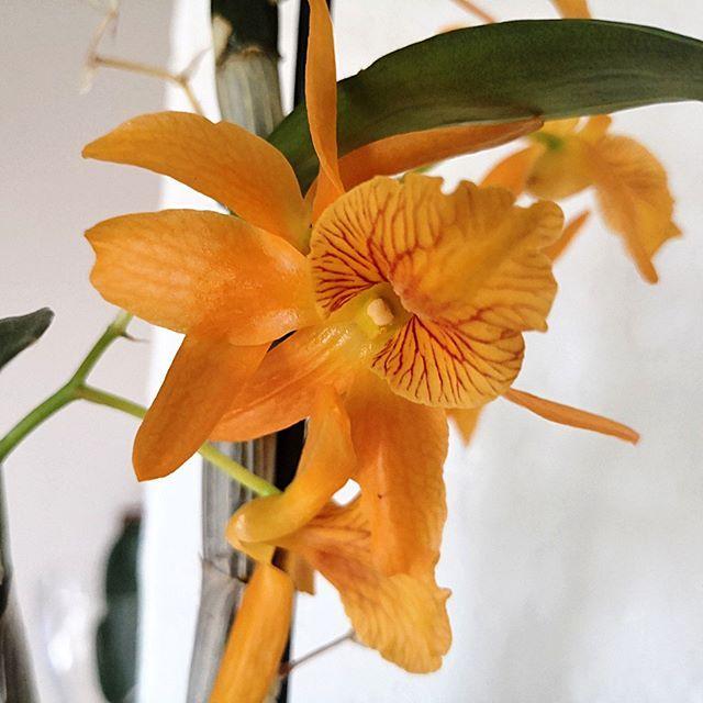 Dendrobium Nobile Akurat Przekwita Ale Kolejne Szykuje Sie Do Kwitnienia Rytmynatury Dendrobium Nobile Storczyk Storczyki Orchid O Dendrobium Nobile Plants