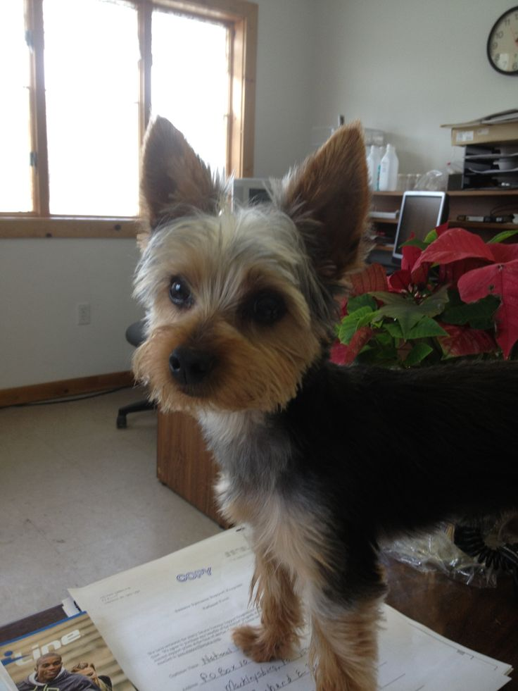 Cute Short Haircuts For Yorkies Hairstly