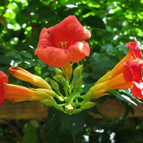 25 best ideas about plante grimpante persistant on pinterest plante grimpante feuillage - Plante retombante feuillage persistant ...