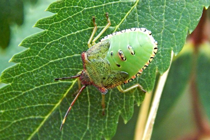 final instar Hawthorn Shieldbug | by Curiosity thrills.