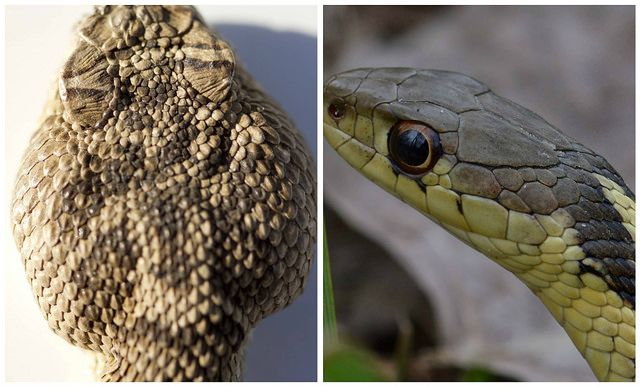 On the left is a head of a Northern Pacific rattlesnake ...