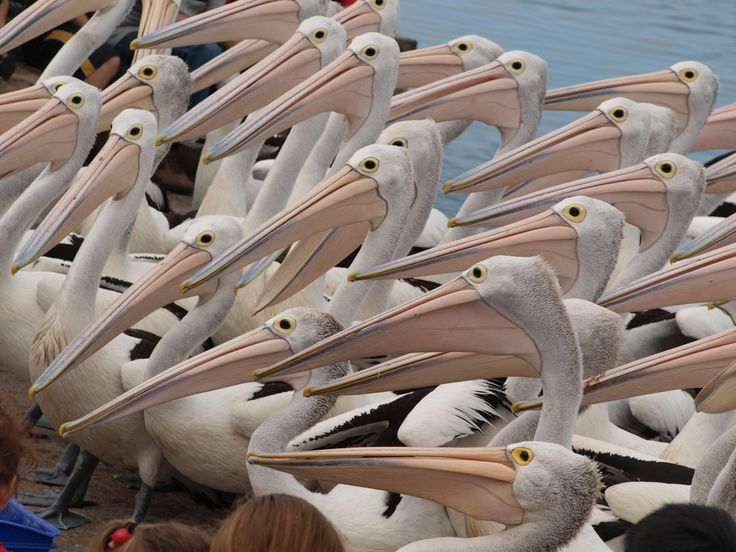 All lined up waiting for a feed! #pelicans #theentrancensw