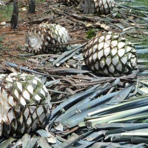 Bar-Vademecum › Mezcal. Teil 8. Tequila –  Agave, Terroir, Ernte, Backen