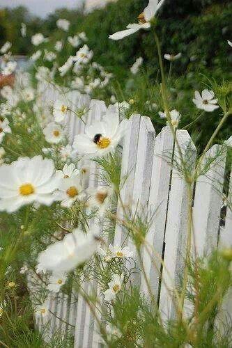 62 besten Weiße Blumen - Inspiration für einen weißen Garten Bilder ...