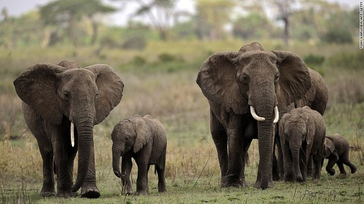 #Elephants walk with elephant calves in the #Serengeti National #Park, which is #Tanzania's oldest national park. #safari #africa #travel