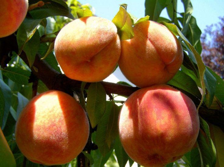 A többi gyümölcsfától eltérően az őszibarackfákat évente termőre kell metszeni, ugyanis csak így számíthatunk rendszeres termésre.