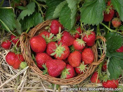 Pflege von Erdbeerpflanzen