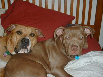 Pits Snoop and Lucia  - dogs Photo