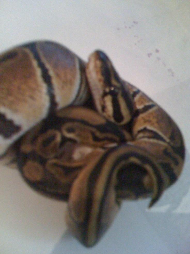 Care for Ball Pythons Python