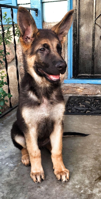 Zeus, German Shepherd Dog