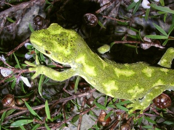 Nelson Green gecko. This on lives The Maitai Valley, therefore the pattern is different