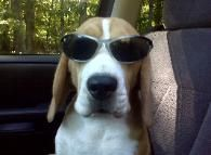 Miller Beagle Pups | AKC Beagles Puppies For Sale | North Carolina