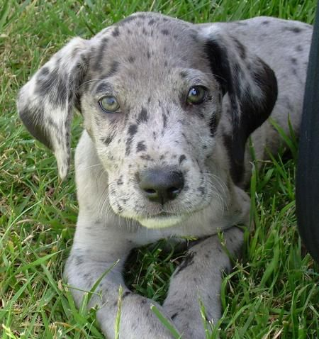 Some day I will have a Great Dane and it better be this color too!