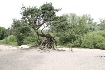 Deze karakteristieke boom staat vlak bij de Dinkel in het Twentse Lutterzand.