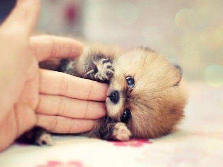 El pomerian más agresivo, tierno y pequeño del mundo
