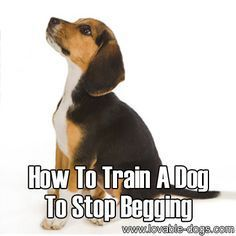 Please Share This Page: Photo – © Anyka – http://Fotolia.com We found another great tutorial today – this one is about how to train dogs not to beg. The link is at the end of our commentary. As dog owners develop a solid and trusting bond with their dogs, it can't be helped to eventually …