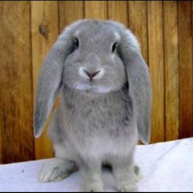 French Lop bunnies. The cutest.