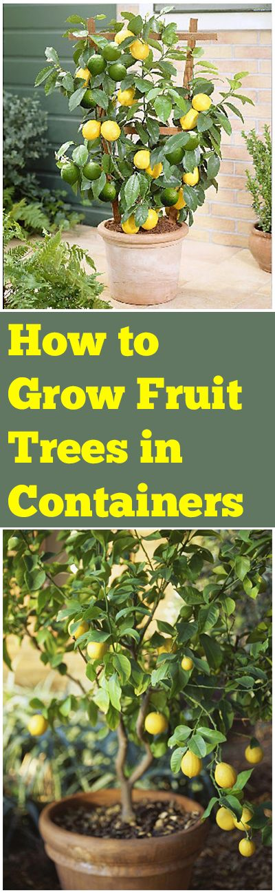 "How to Grow Fruit Trees in Containers. ""Repinned by Keva xo""."