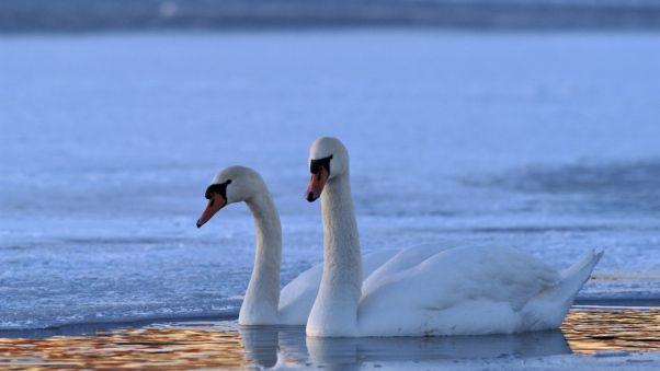 Wallpaper swan, swim, winter
