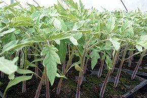 Producerea răsadurilor de roșii reprezintă o variantă tot mai utilizată de legumicultori, fie că produc pentru consum propriu sau piață, având în vedere prețul tot mai mare al materialului