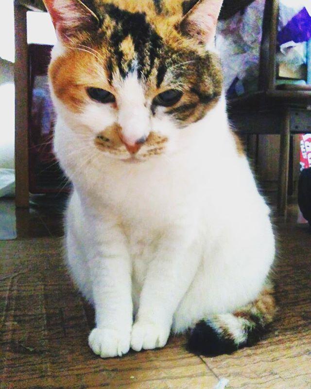 👼2017.11.1 * だいすきな実家のねこ🐈 とてもお転婆な三毛猫ちゃん。 白くてもふもふなシルエットが とーっても美人さんでした♡ 20年間ありがとう。安らかに…💫 * #家族 #Family #ペット #ペットロス #cat #ネコ #ねこ #にゃんこ #猫 #三毛猫 #愛猫 #美人 #もふもふ #抱きしめたい #抱っこしたい #ありがとう #だいすきだよ #愛してる #また会おう #また遊ぼう