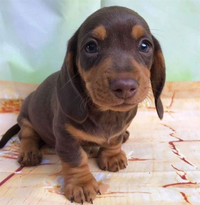 Cute Dachshund If You Love Dachshunds Visit Our Blog To Find