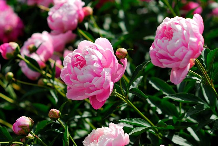 Peonies are long-lived perennials for growing zones 2-8 that offer big, fluffy, fragrant flowers. Learn how to grow peonies with planting and care tips from the pros. Compare herbaceous, tree and intersectional peony plants and see pictures of recommended peonies to grow in your garden.