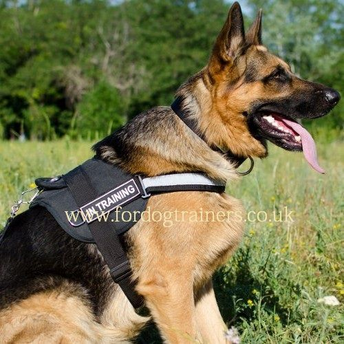 German Shepherd Is Very Loyal With His Owner And Family German