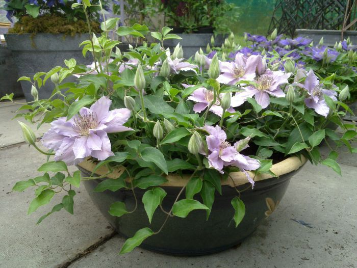 101 Best Images About Clematis On Pinterest Gardens