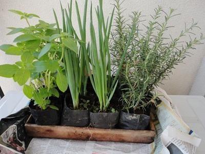 Temperos - Alecrim e Cebolinha. Cozinhar utilizando temperos colhidos diretamente da sua hortinha? É possível, fácil e simples. Veja como.