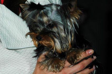 La mejor raza de perros pequeña para las familias   eHow en Español