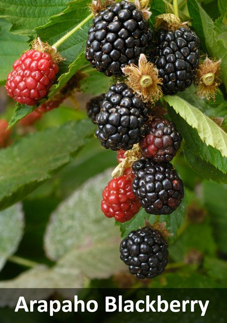 3-in-1 Thornless Blackberry Bush for Sale | Fast-Growing-Trees.com