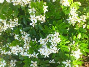 メキシカンオレンジブロッサム 常緑低木種 樹高:~2m 開花時期:4~5月 日当たりの良い場所を好む 害虫がつきにくい