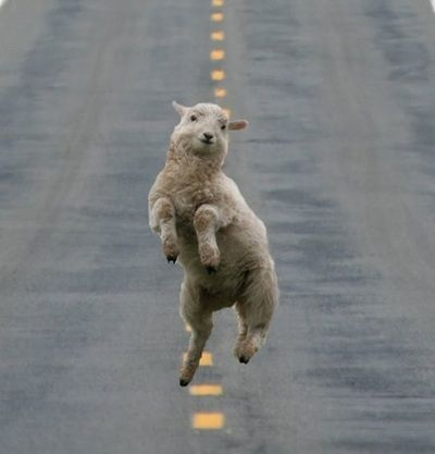 This made me squeal.: Animals, Happy, Ganglamb Style, Funny Stuff, Sheep, Funnies, Funny Animal