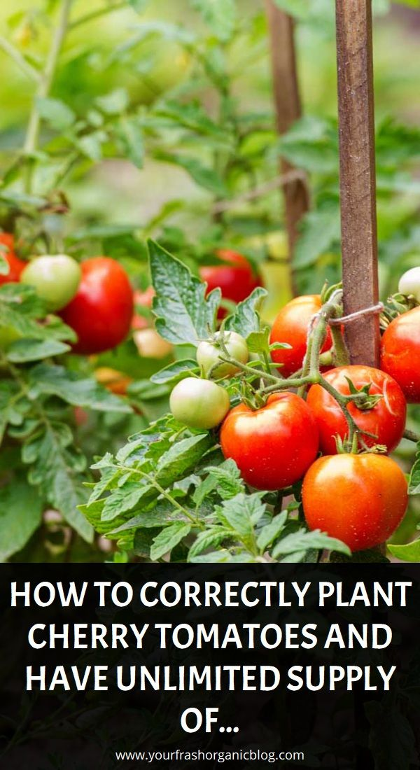 How To Correctly Plant Cherry Tomatoes And Have Unlimited Supply