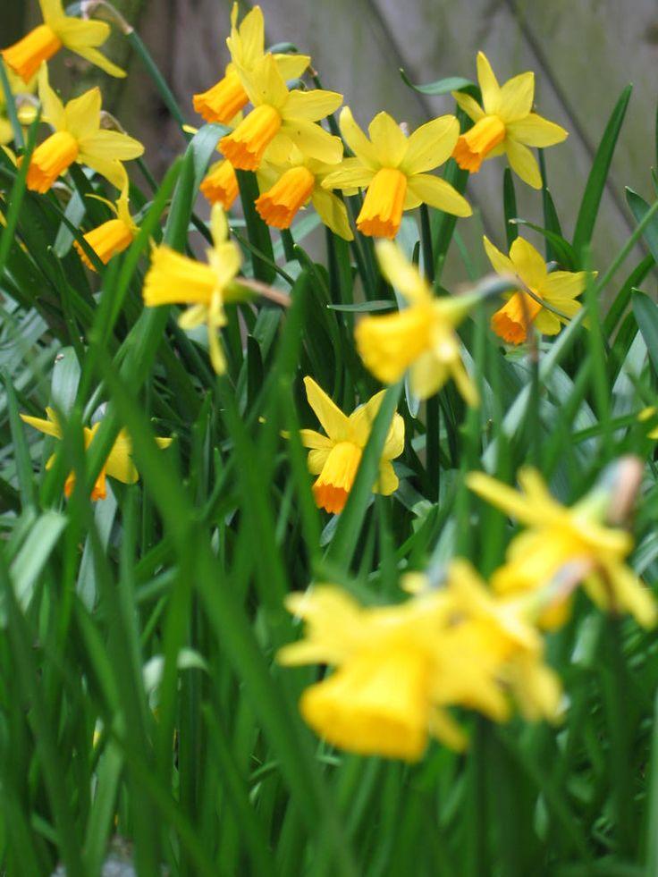 Narcis: de neuzen zijn in januari 2015 vroeg te zien. Narcissen zijn in vele maten, hoogten en kleuren: van wit via geel naar oranje. Vaak geeft combinatie van bloemblad en trompet aparte effect.