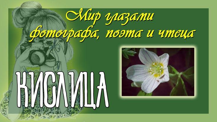 Кислица - цветок нежный Авторские стихи, фото, прочтение