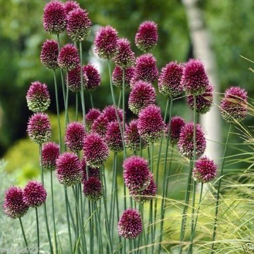 50 Allium Bulbs Purple Drumstick Ornamental Onion Fall Planting Now Shippingdefault Title Allium Sphaerocephalon Allium Flowers Longfield Gardens