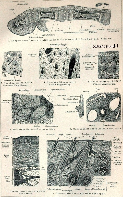 Antique German Anatomy Engraving of Human Tissue | 1897