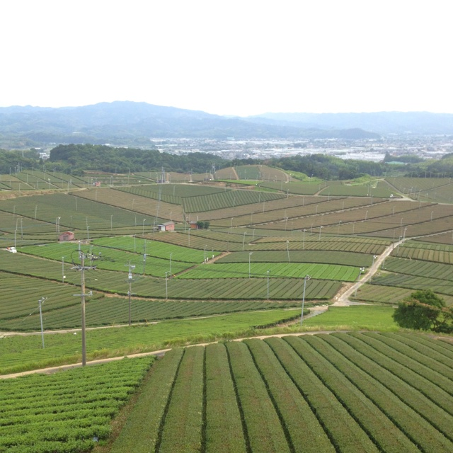 Japan tea farm.