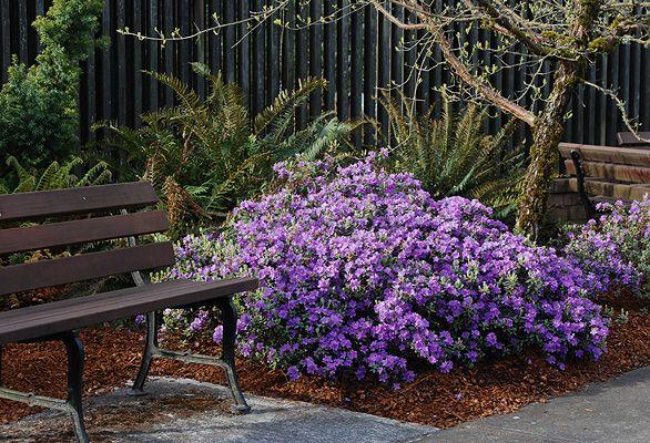 ramapo rhododendron   plant habit, flowering